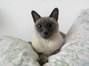 Se perdió GALOS, mi gato siames (Blue Point , Vicente López