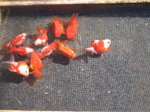 Cultivo y criadero de peces zoom rosario avisos y for Cria de peces ornamentales